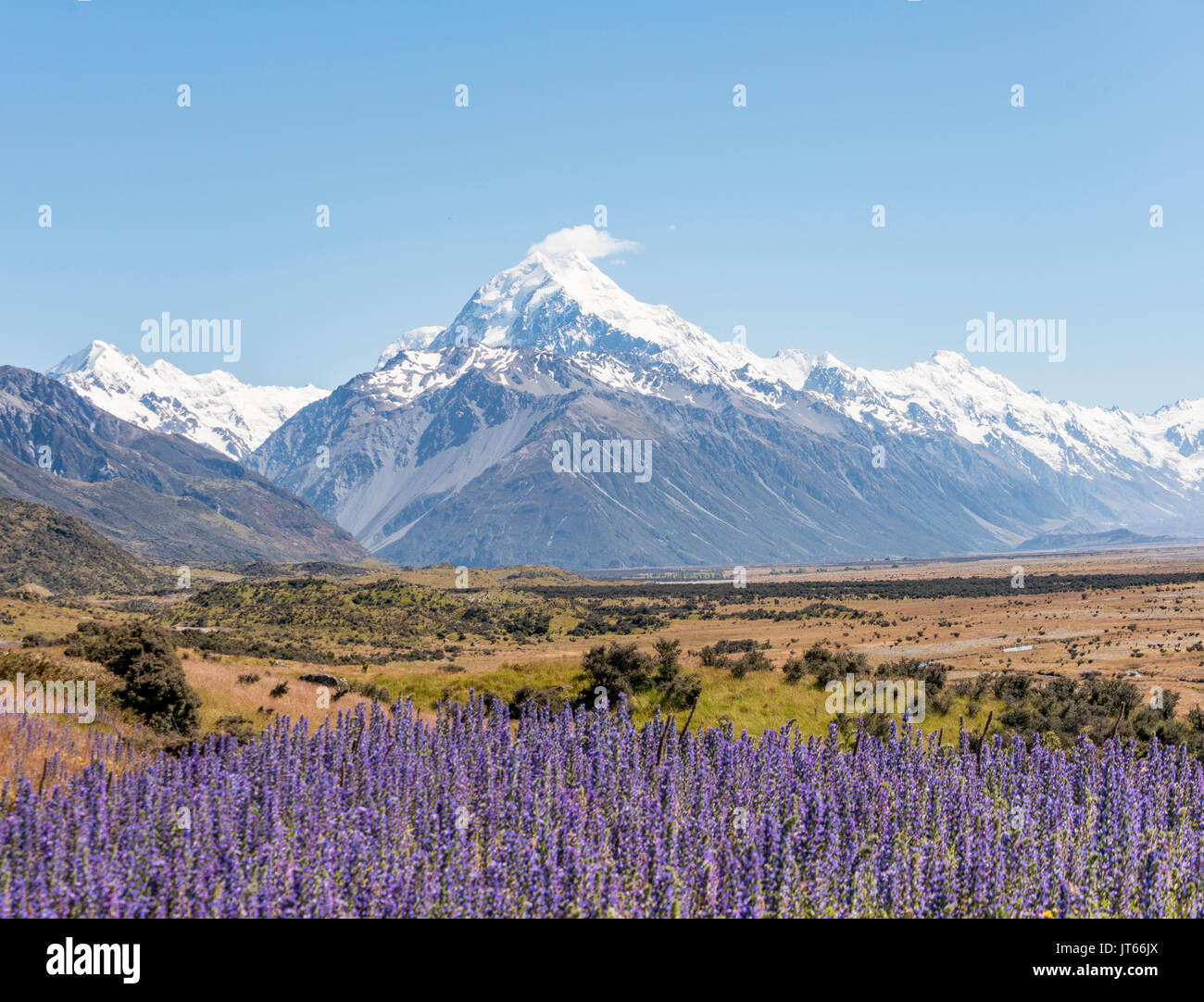 Flowering Purple Flowers, Mount Cook, Snowy Mountains, Mount Cook National Park Southern Alps, Canterbury, South Island - Stock Image