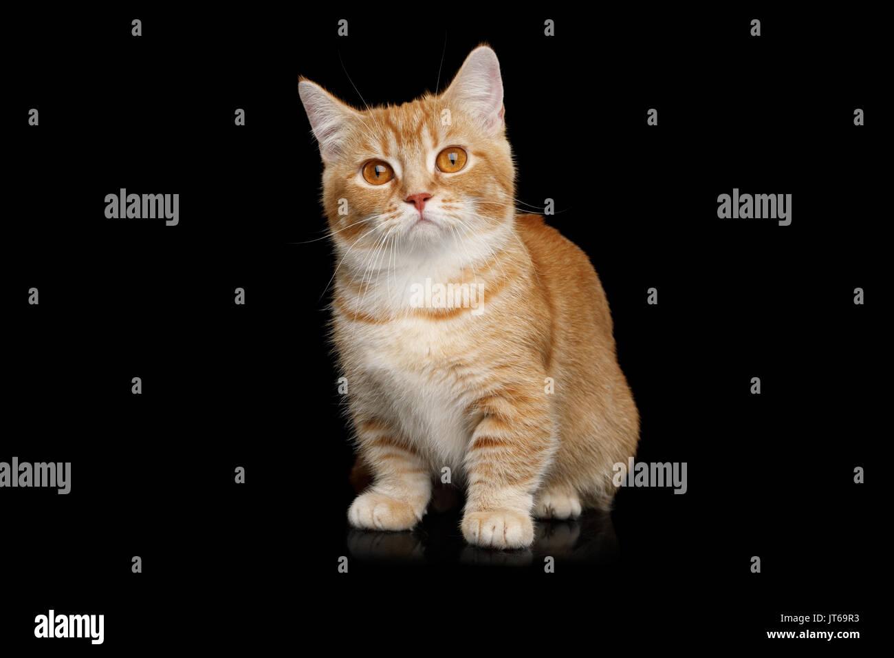 Munchkin Cat on Black background - Stock Image