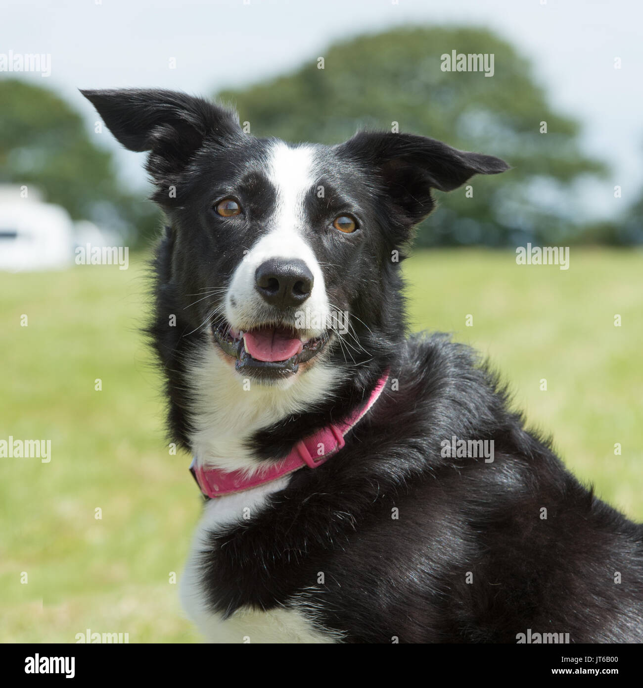 border collie - Stock Image