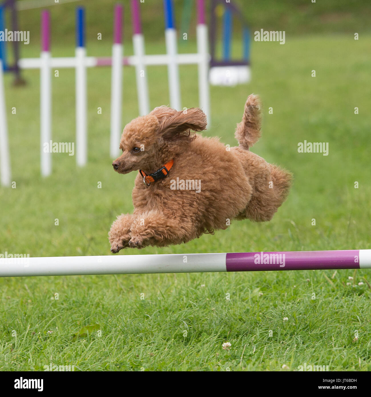 poodle dog competing in agility - Stock Image