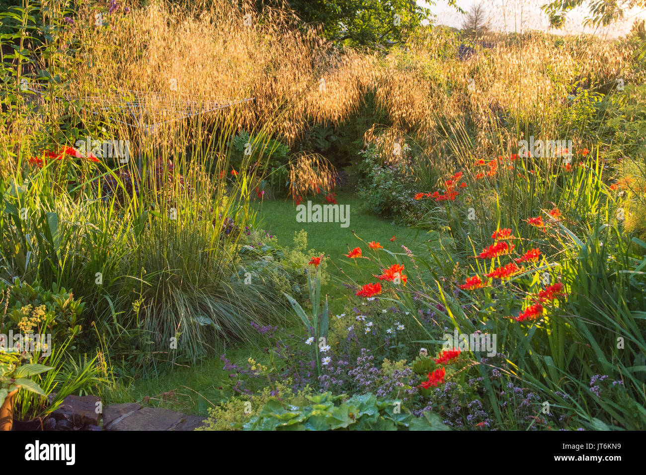 mid late summer borders with backlit stipa gigantea ornamental grasses and crocosmia lucifer Stock Photo