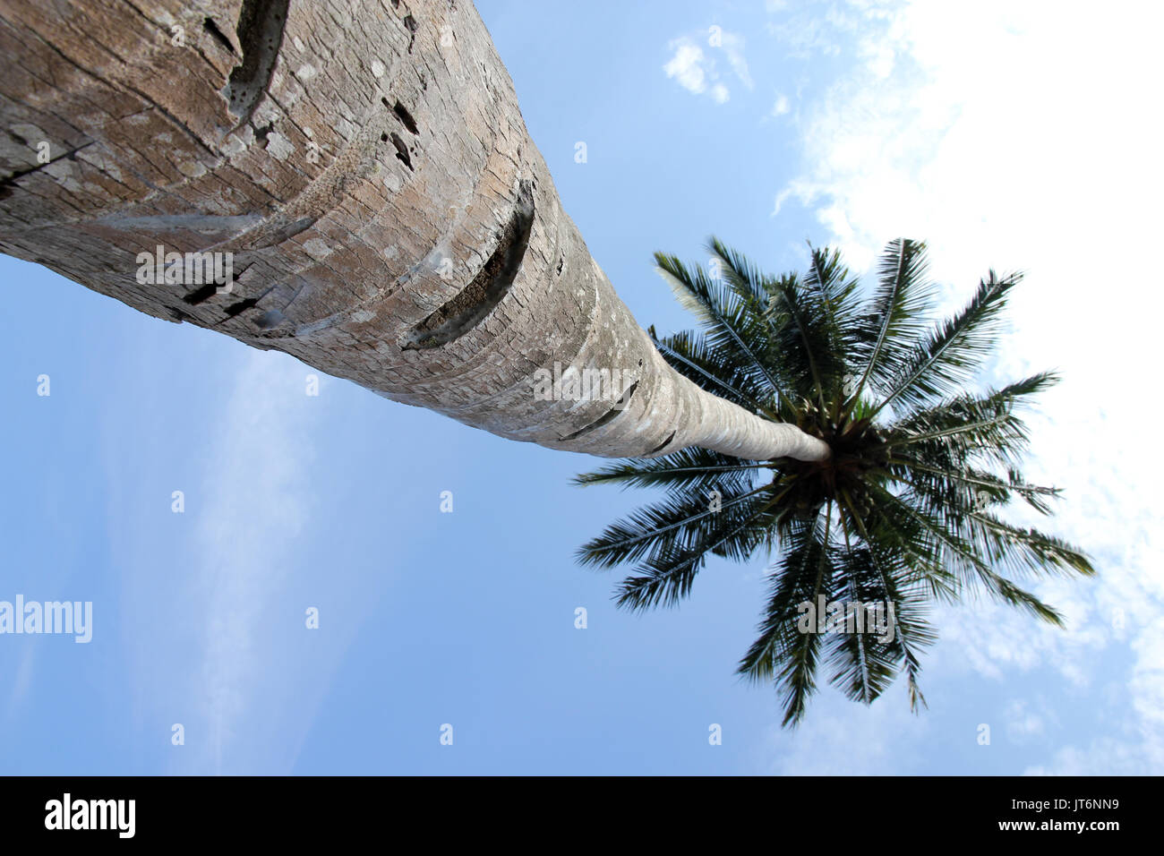 coconut palms Tioman Island Malaysia - Stock Image
