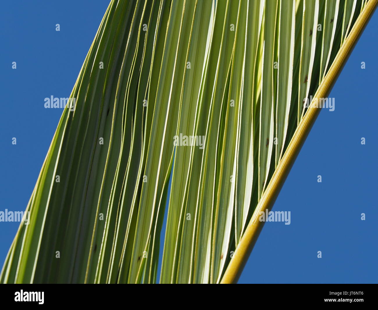 New palm fronds - Stock Image