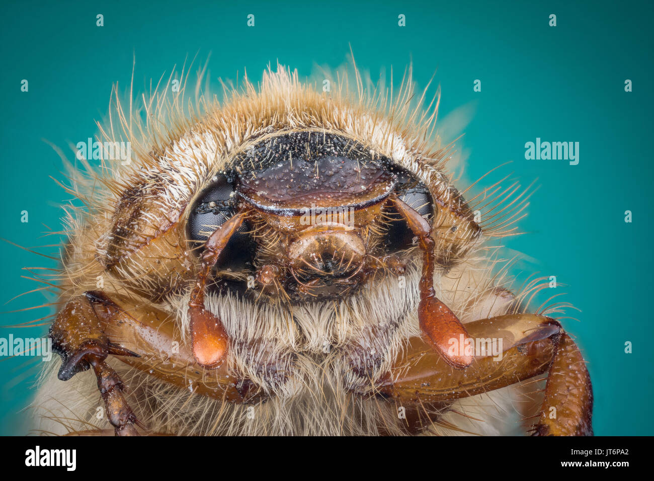 Head of Cockchafer on green background macro or micro photography - Stock Image