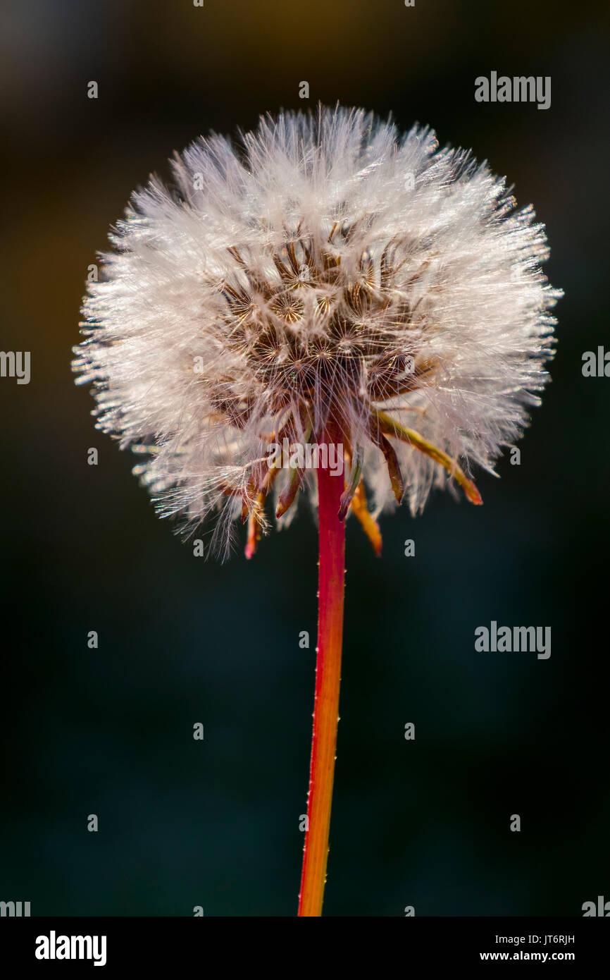 Taraxacum officinale, dandelion clock - Stock Image