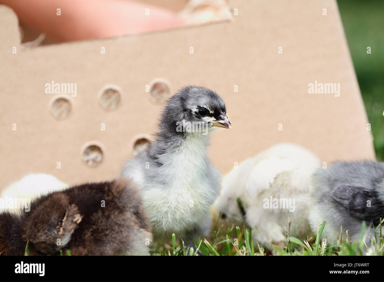Mail ordered baby Blue Cochin chick beside a packing box. Extreme depth of field with selective focus on the little chick in foreground. - Stock Image