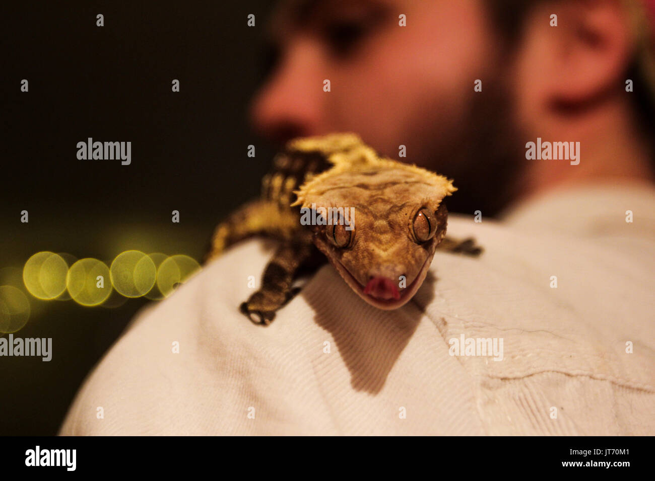 Crested gecko on mans shoulder, with yellow bokeh light in background - Stock Image