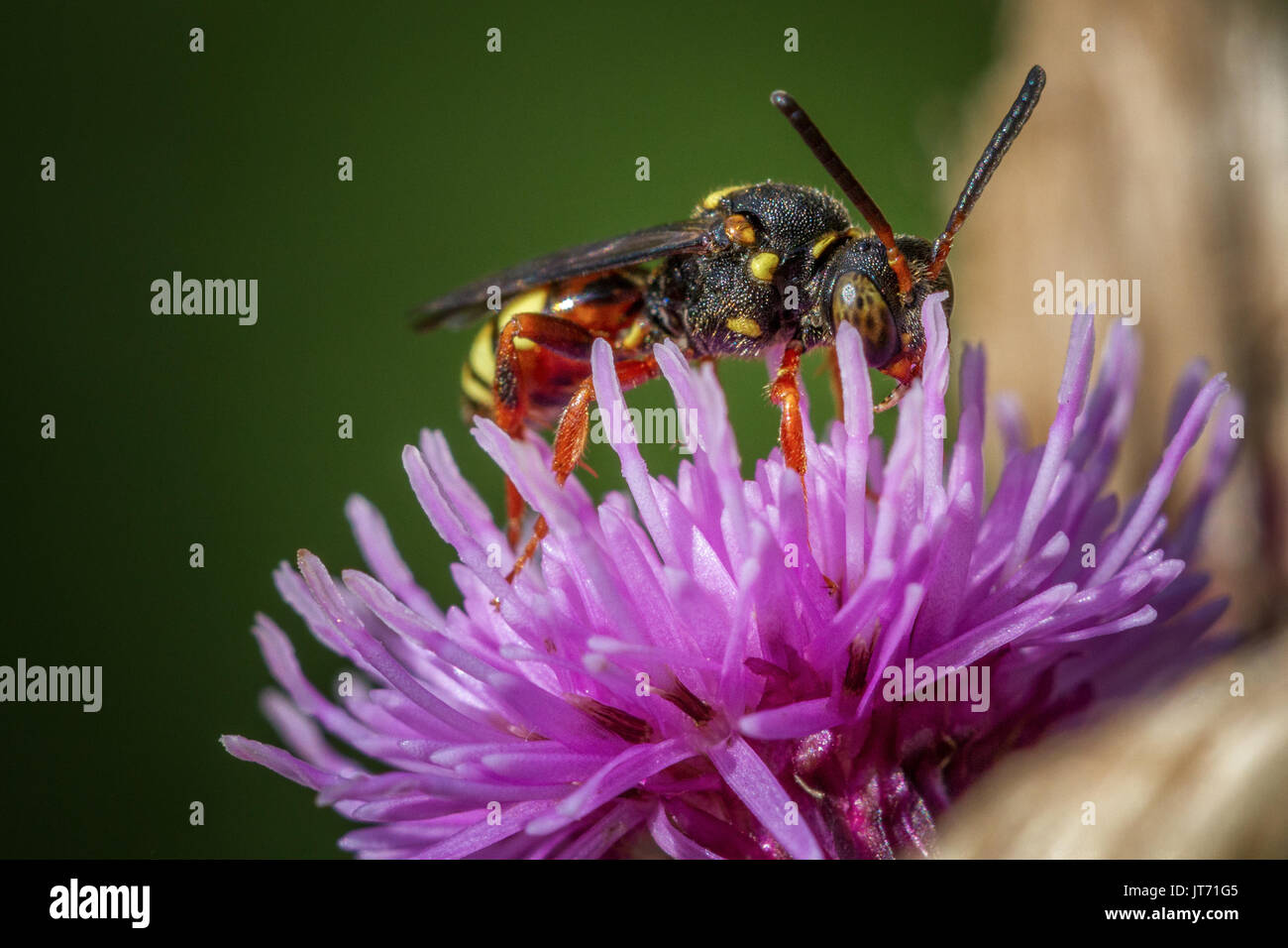 UK wildlife: Nomada rufipes, solitary cuckoo bee and cleptoparastic, Burley Moor, West Yorkshire, England - Stock Image