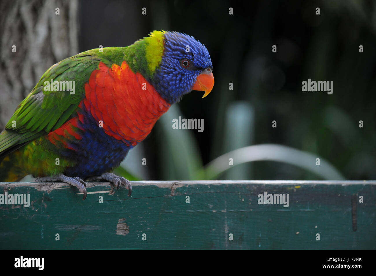 A colorful rainbow parakeet bird perched on a fence - Stock Image