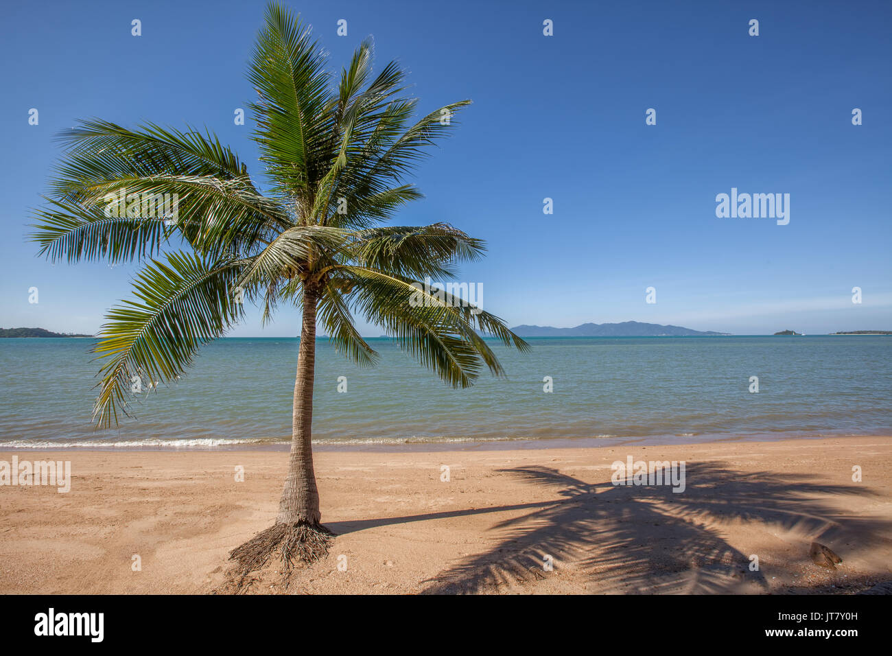 A lone palm tree at Bo Phut beach, Koh Samui island, Thailand - Stock Image