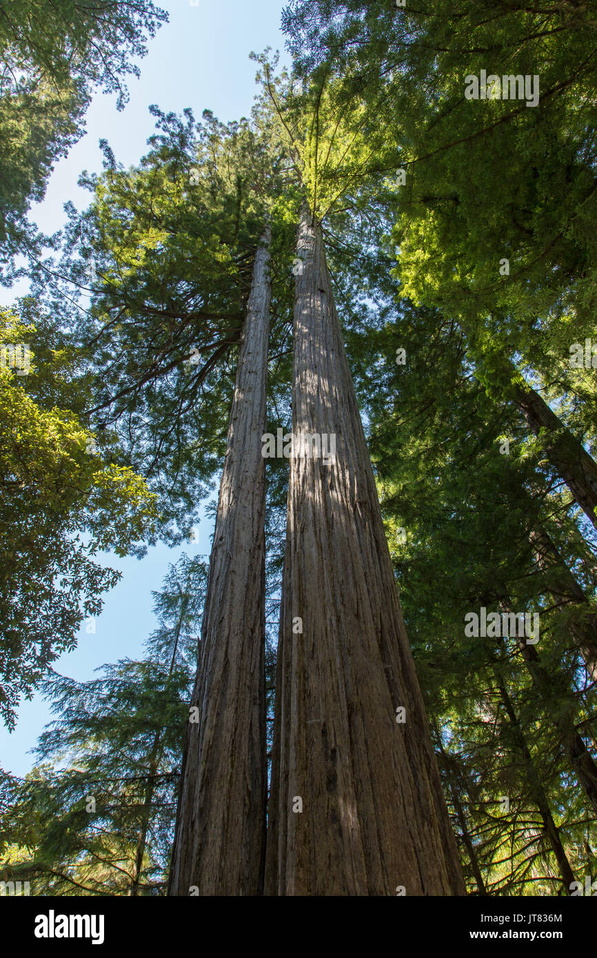 Among the tallest trees - Stock Image