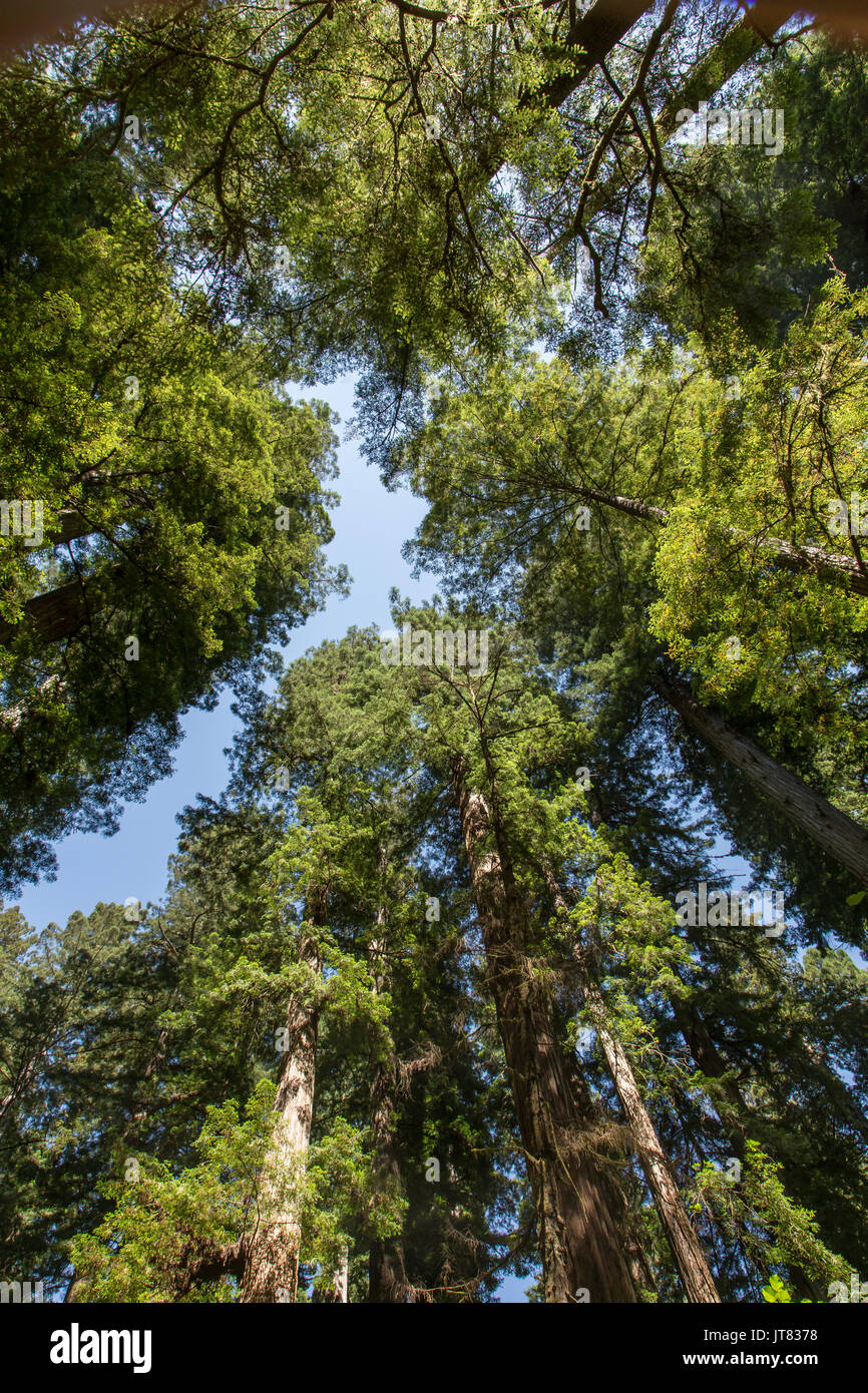 Among the redwoods - Stock Image