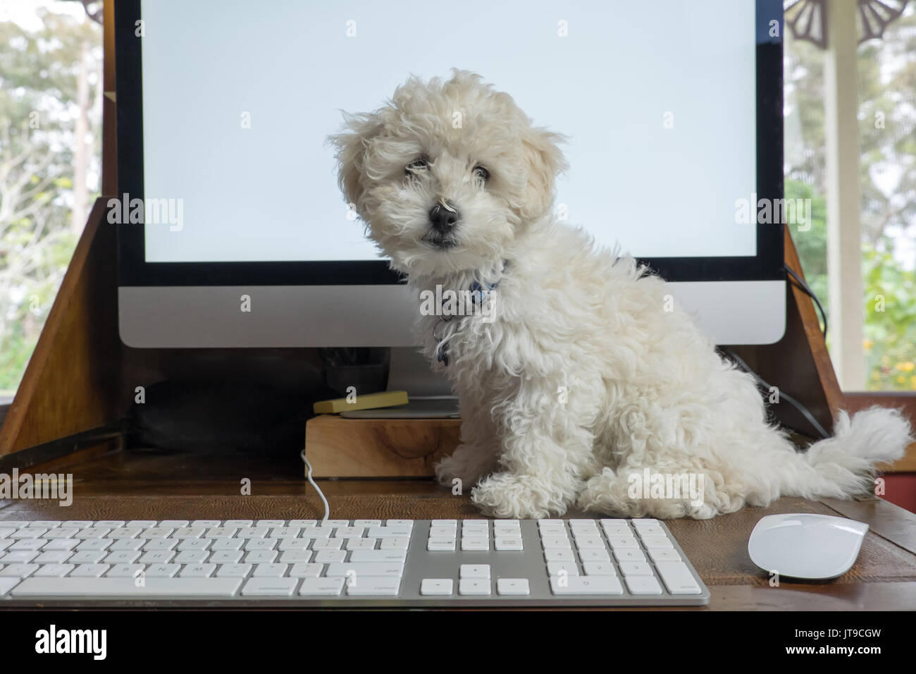 Working from home office with bichon frise puppy dog on desk with computer screen, keyboard and mouse - Stock Image