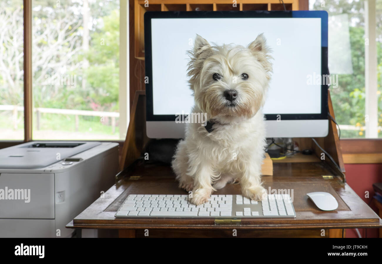Bring dog to work day - west highland white terrier on desk with computer in working from home office - Stock Image