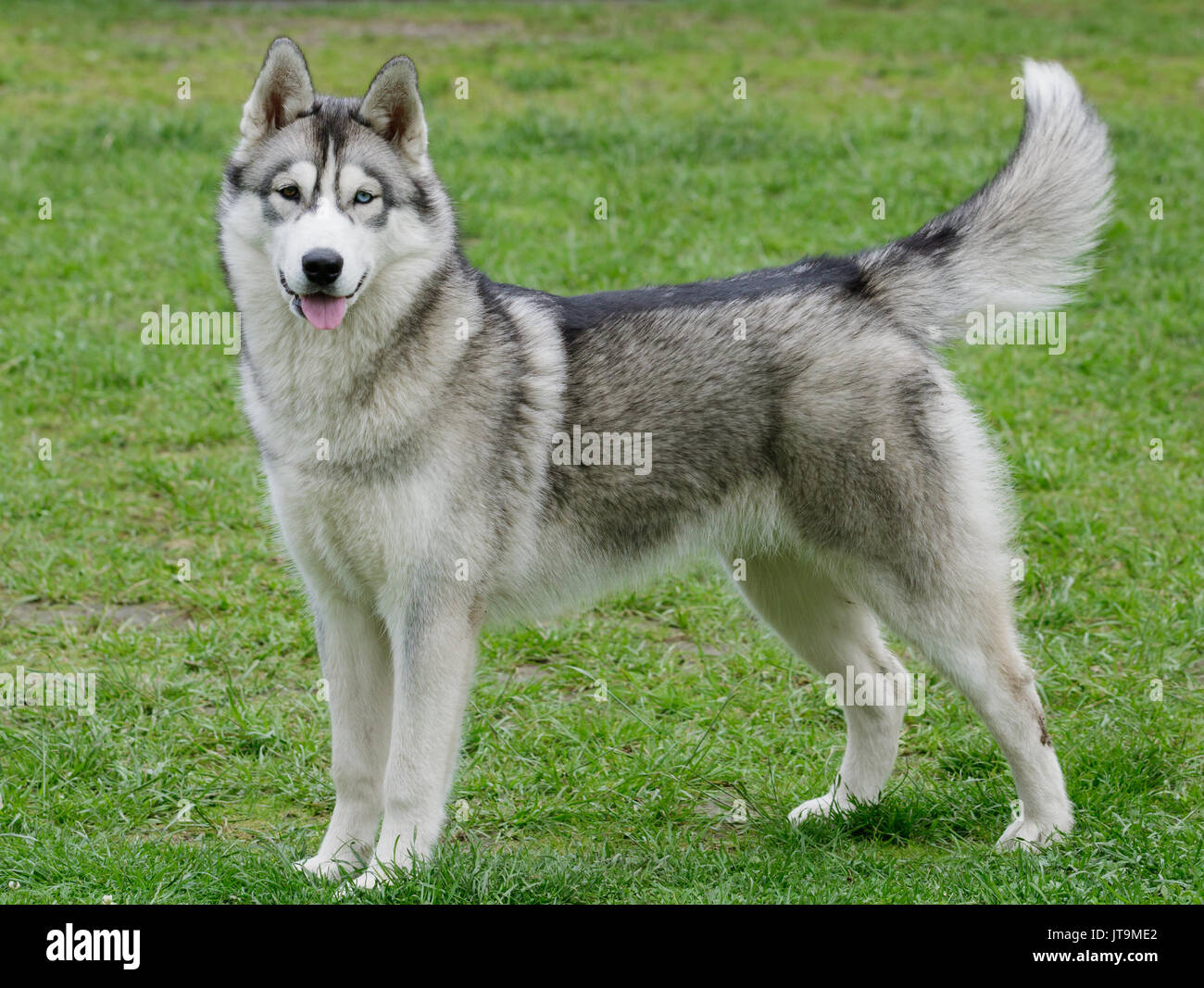 Portrait of beautiful Siberian Husky dog. - Stock Image