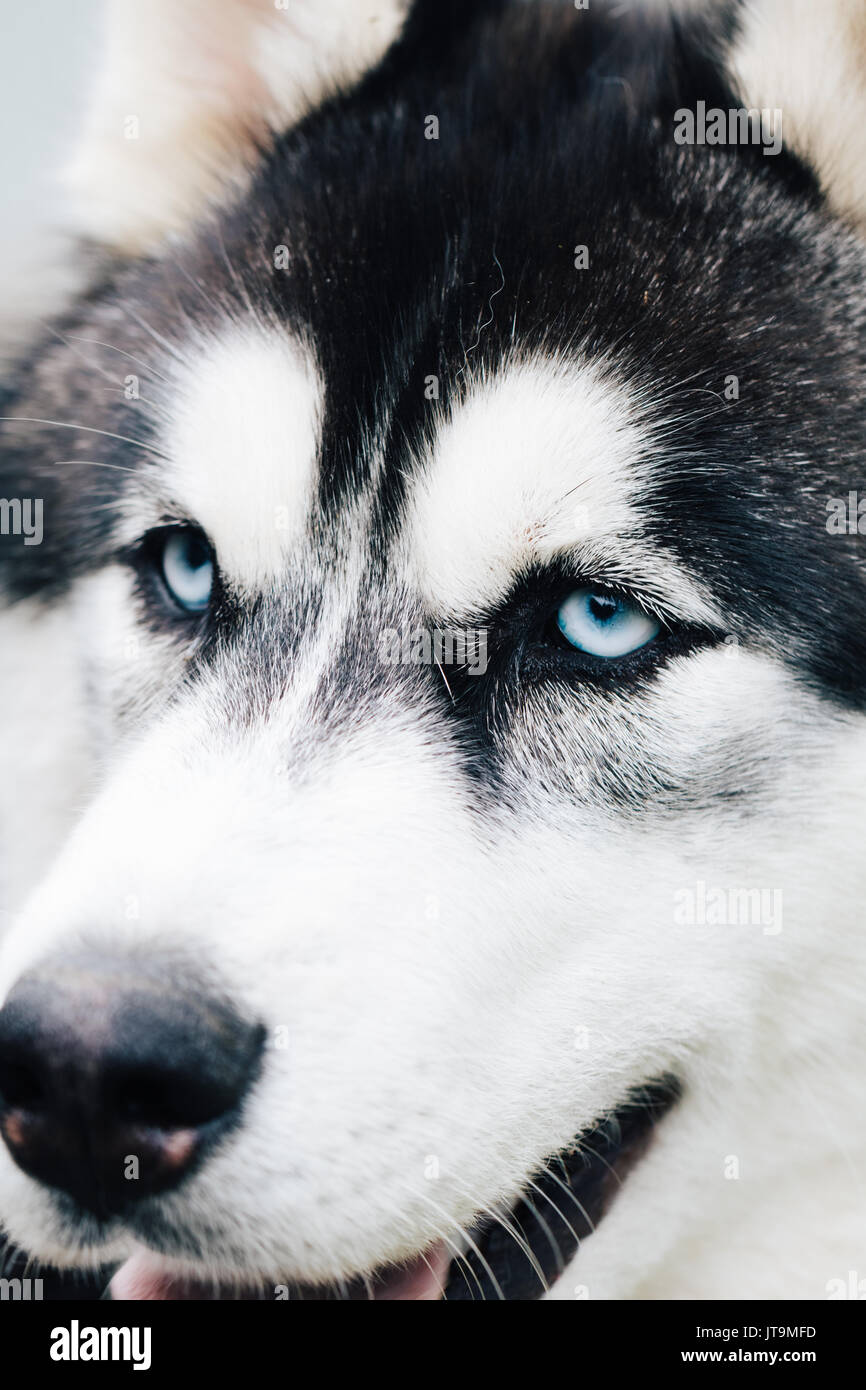 Portrait of beautiful Siberian Husky dog. Close up. - Stock Image