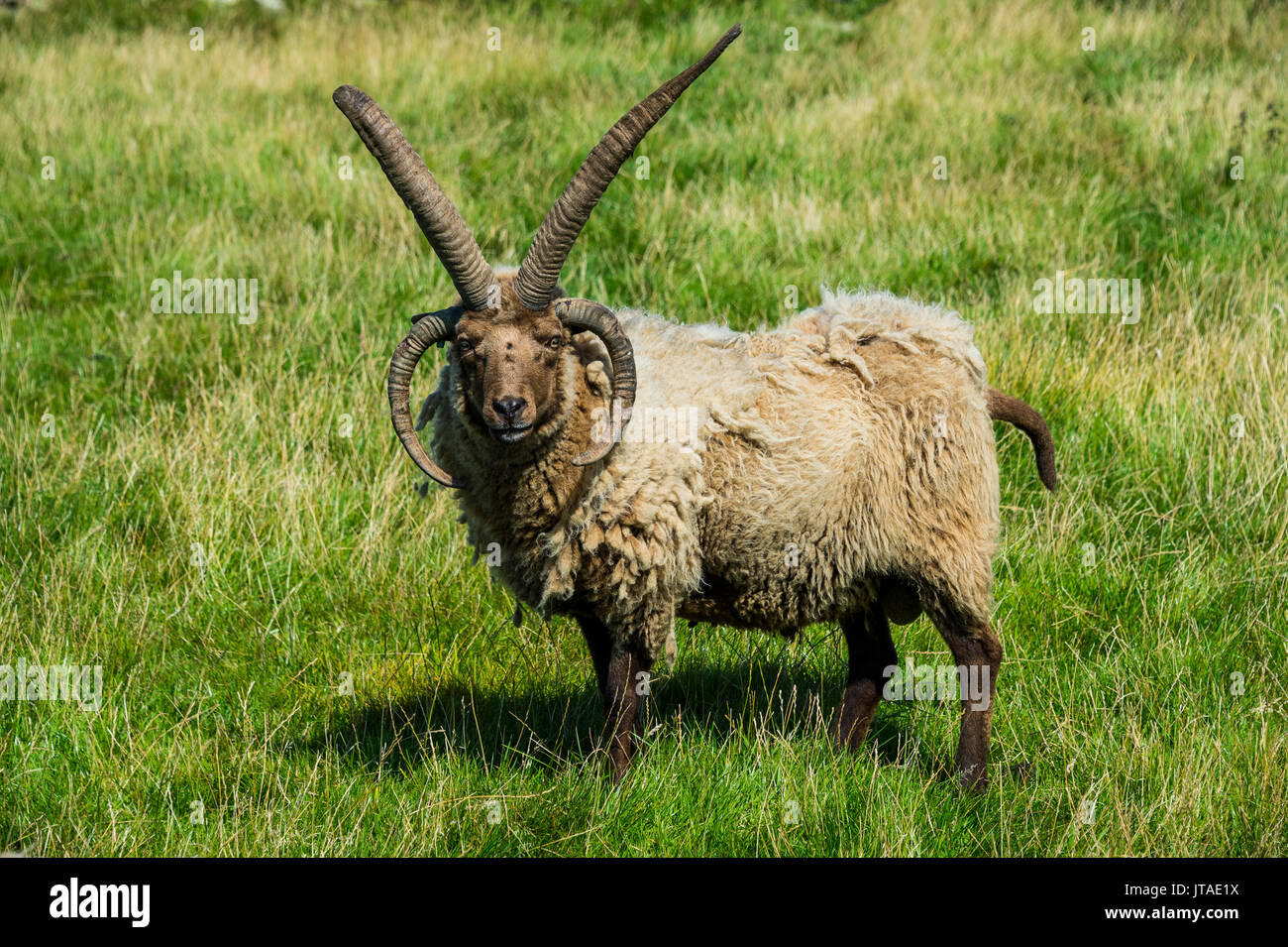 Four-horned Manx Loaghtan sheep (Ovis aries) in the living museum Cregneash village, Isle of Man, crown dependency of the UK - Stock Image