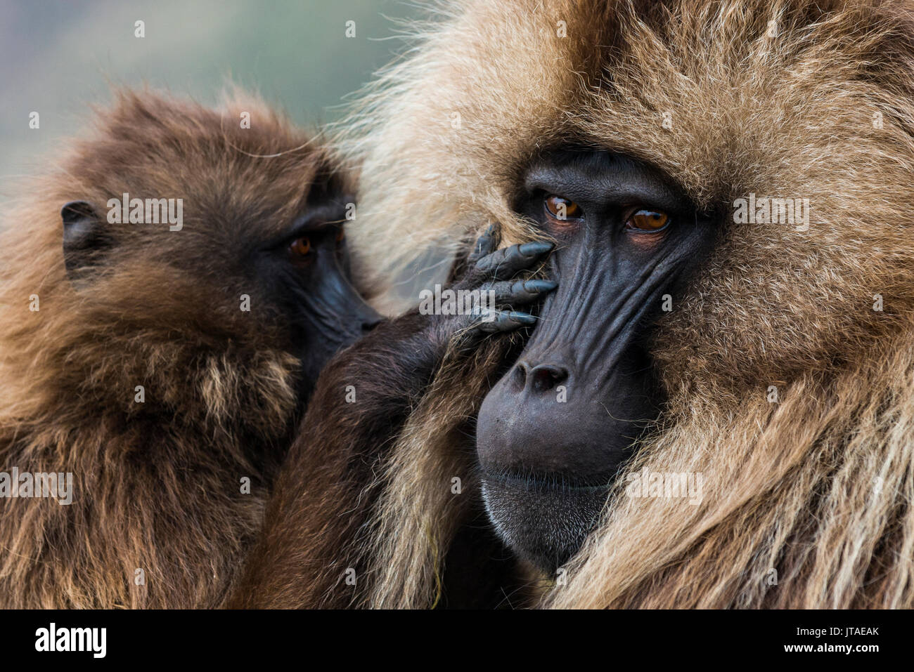 Baby cleaning a male Gelada baboon, Simien Mountains National Park, UNESCO World Heritage Site, Ethiopia, Africa - Stock Image