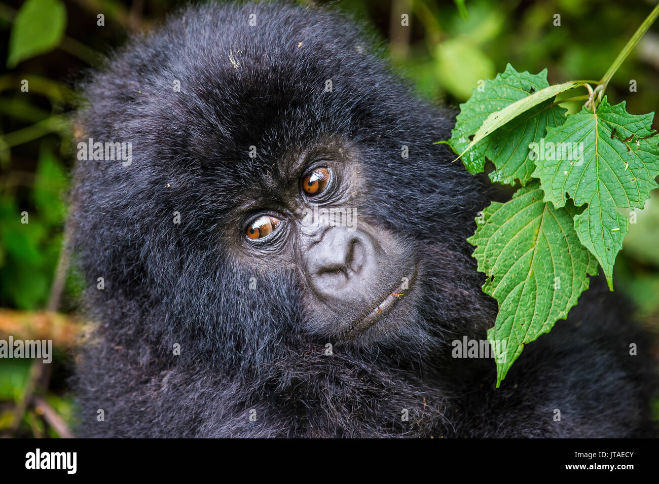 Young mountain gorilla (Gorilla beringei beringei) in the Virunga National Park, UNESCO, Democratic Republic of the Congo - Stock Image