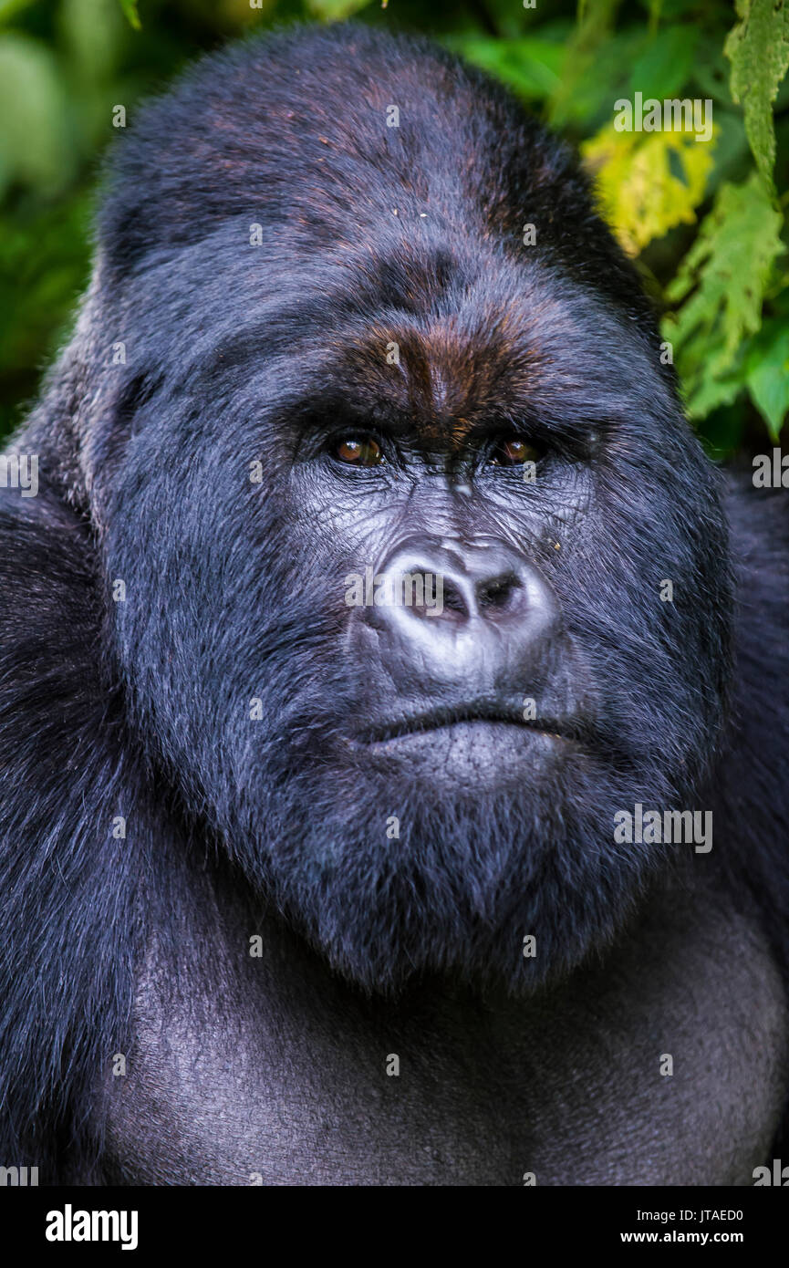 Silverback Mountain gorilla (Gorilla beringei beringei) in the Virunga National Park, UNESCO, Democratic Republic of the Congo - Stock Image