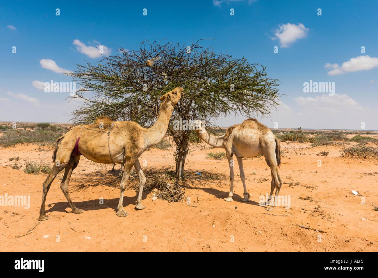 Camels eating an acacia bush, Somaliland, Somalia, Africa - Stock Image