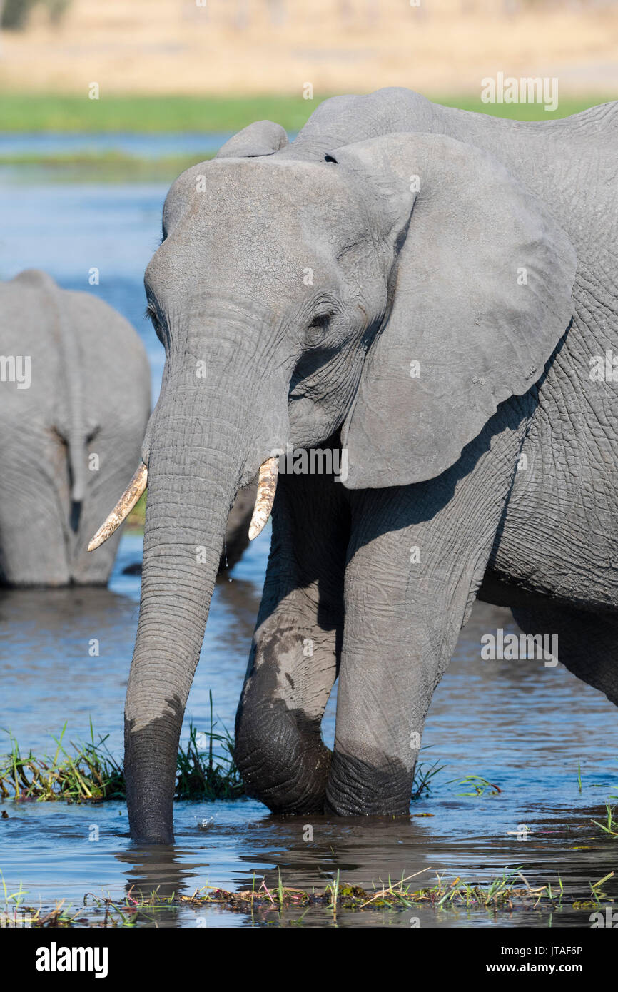 An African elephant (Loxodonta africana) drinking in the River Khwai, Okavango Delta, Botswana, Africa - Stock Image