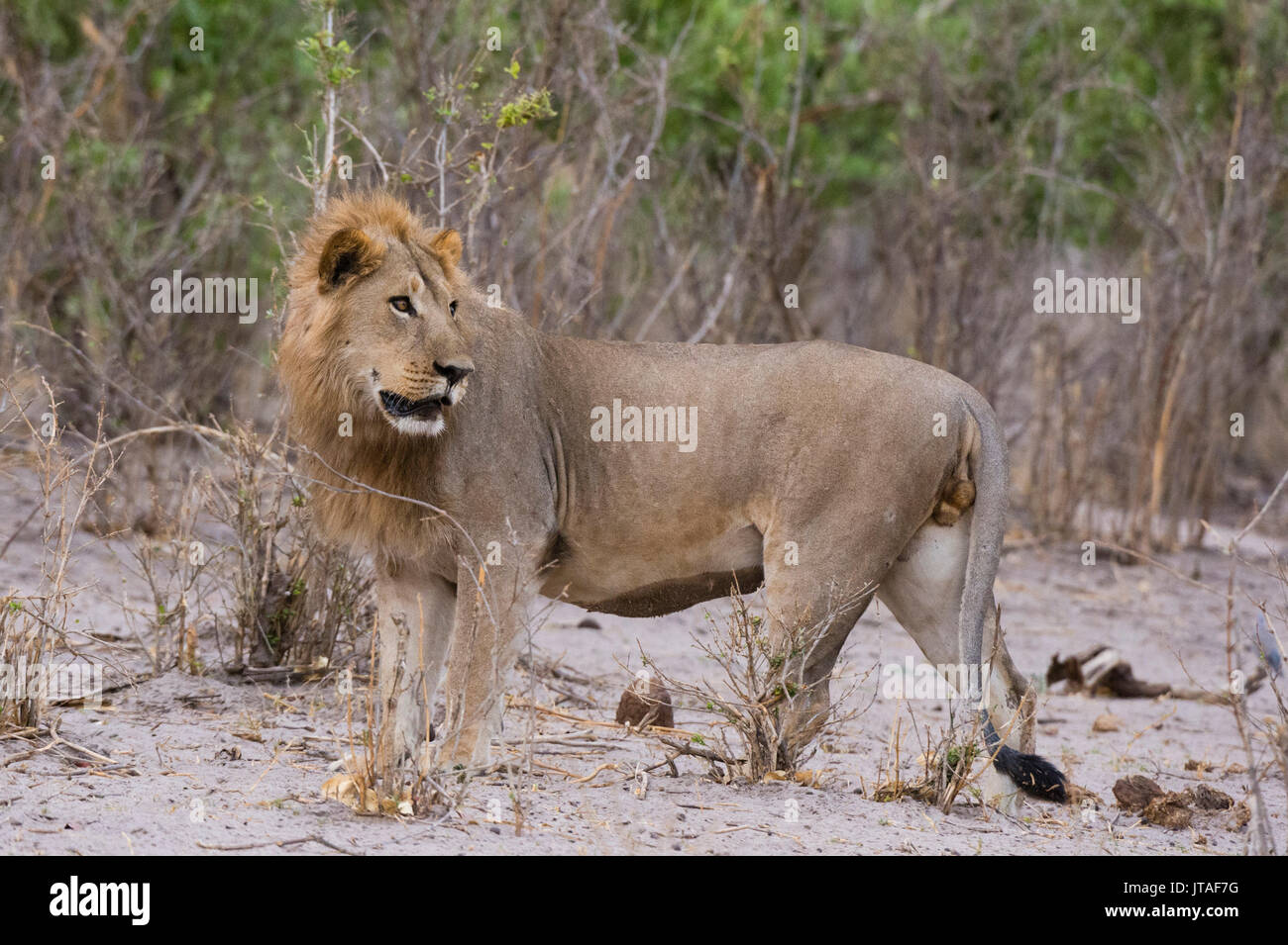 Portrait of a male lion (Panthera leo), Savuti, Chobe National Park, Botswana, Africa Stock Photo
