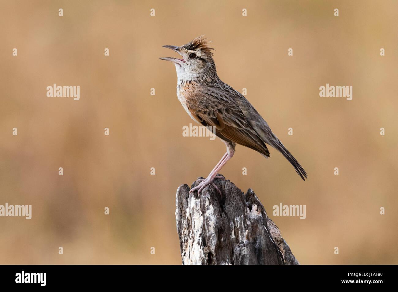 Rufous-naped lark (Mirafra africana), Savuti, Chobe National Park, Botswana, Africa Stock Photo