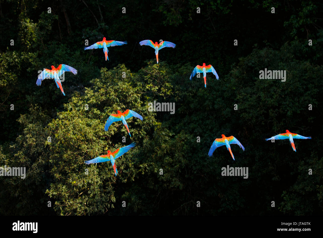 Red and Green Macaws or Green-winged Macaws (Ara chloropterus) in flight over canopy, Mato Grosso do Sul, Brazil, South America - Stock Image