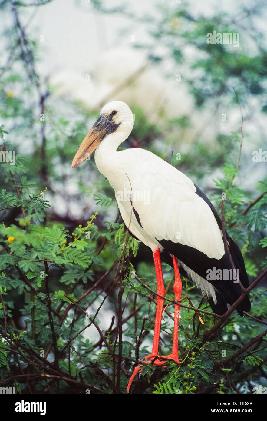 Asian Openbill or Asian Openbill stork, (Anastomus oscitans), Keoladeo Ghana National Park, Bharatpur, Rajasthan, India - Stock Image