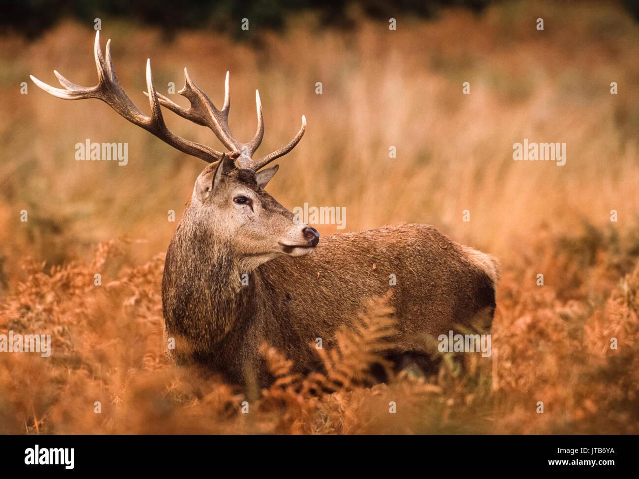 Red Deer stag, (Cervus elaphus), amongst bracken, Richmond Park, London, United Kingdom, UK - Stock Image