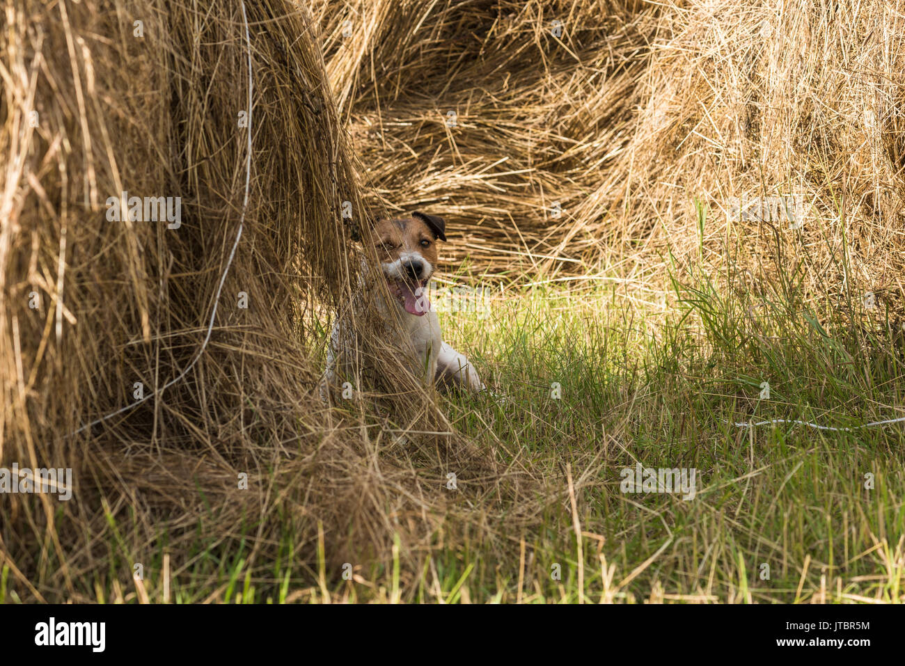 Dog hiding inside haystack playing hide and seek game Stock Photo