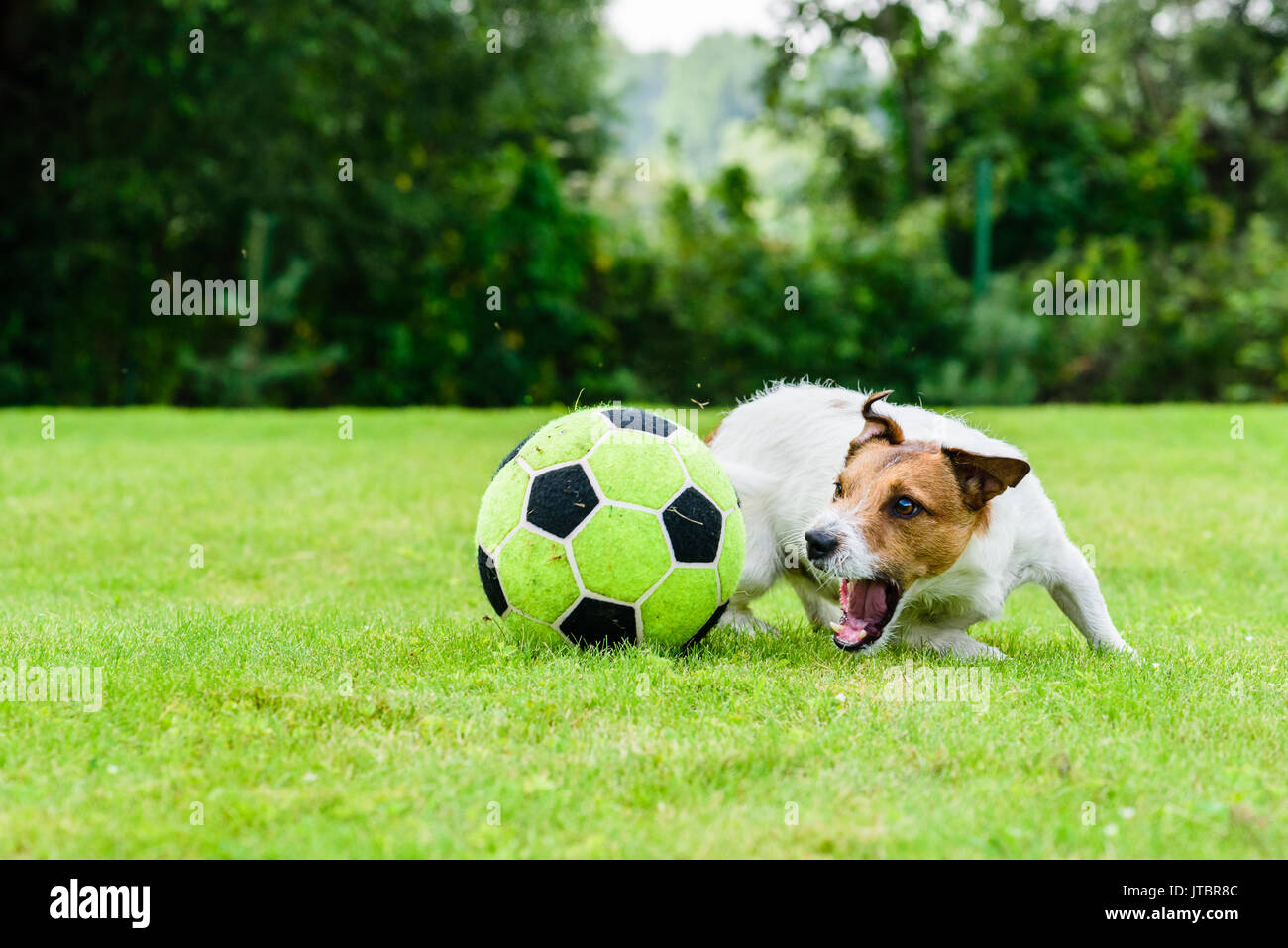 Engaged dog actively playing with football (soccer) ball - Stock Image
