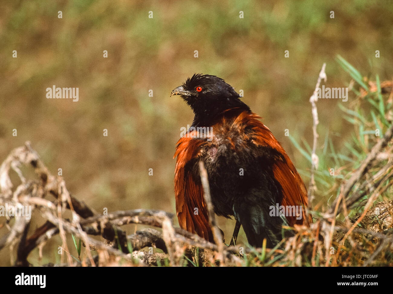 Greater Coucal, (Centropus sinenesis), sunbathing to rid plumage from parasites, Keoladeo Ghana National Park, Bharatpur, Rajasthan, India - Stock Image