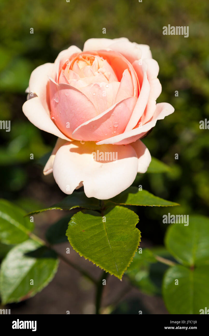 Lieblings Strauchrose Stock Photos & Strauchrose Stock Images - Alamy #GQ_56