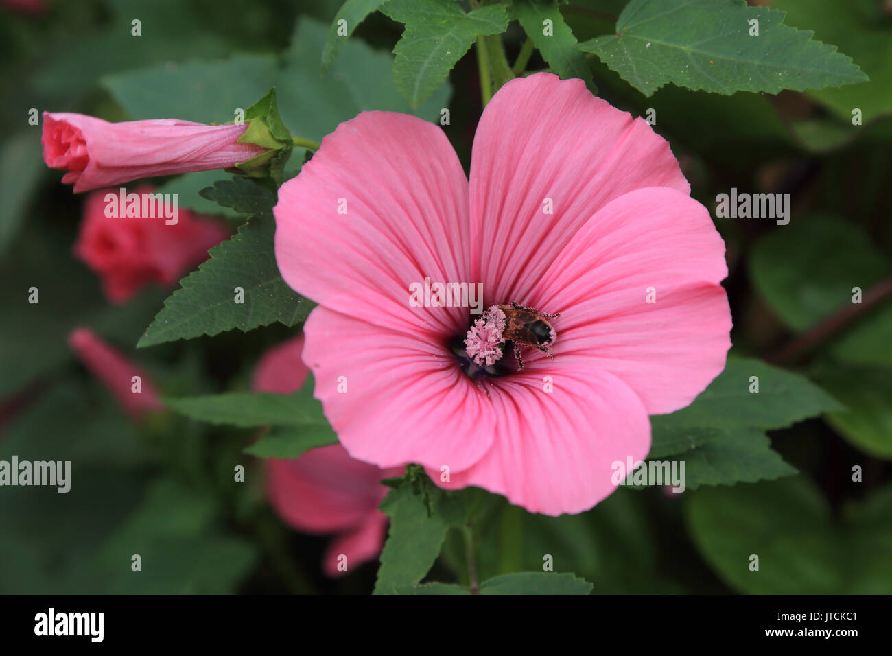 Pink trumpet flower with bee collecting pollen in jardin des plantes pink trumpet flower with bee collecting pollen in jardin des plantes amiens france mightylinksfo