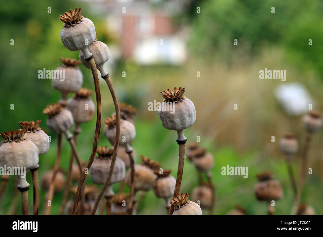 Dried poppy seed pods in Jardin des Plantes, Amiens, Somme, Hauts de France, France - Stock Image