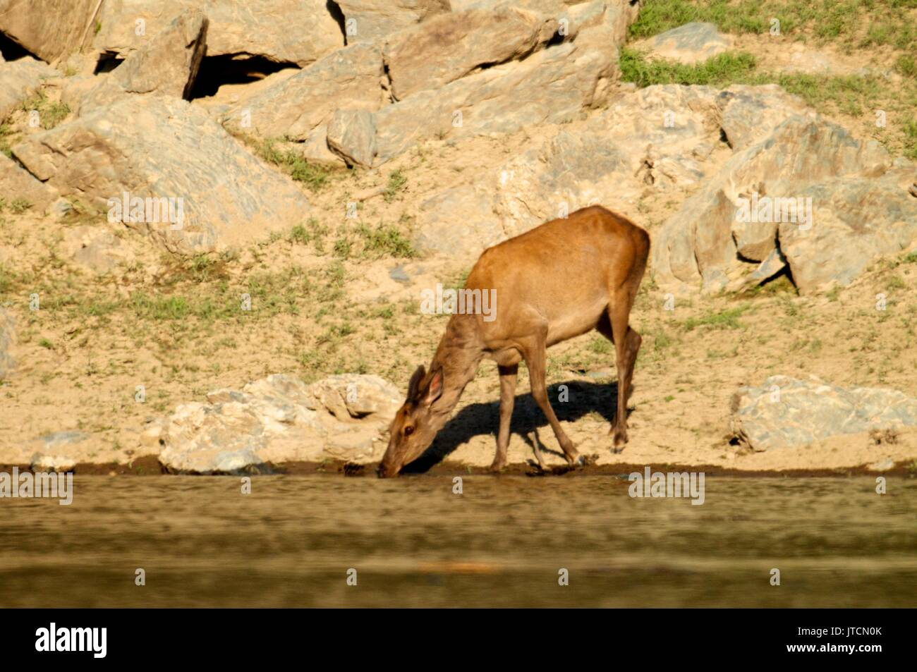 The deer at the watering place Stock Photo