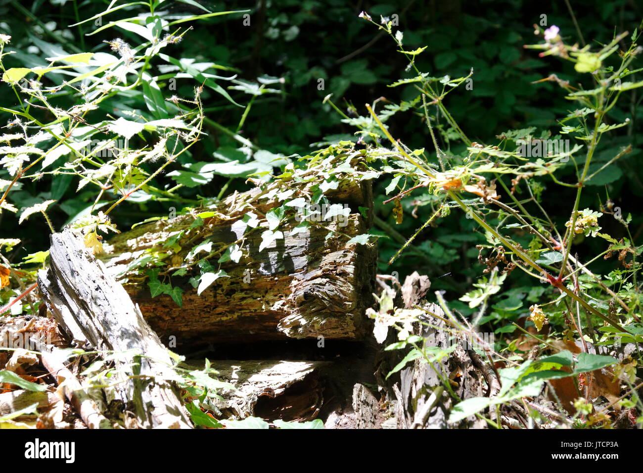Dickicht, Unterholz, mit Holz in einem mystischen Wald - Stock Image