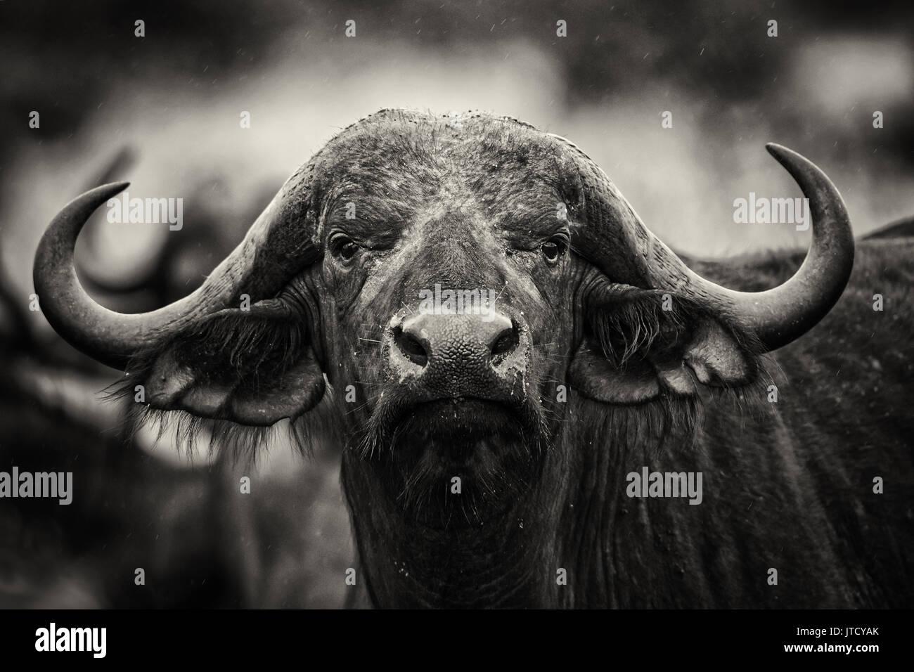 buffalo republic of benin stock photos buffalo republic of benin