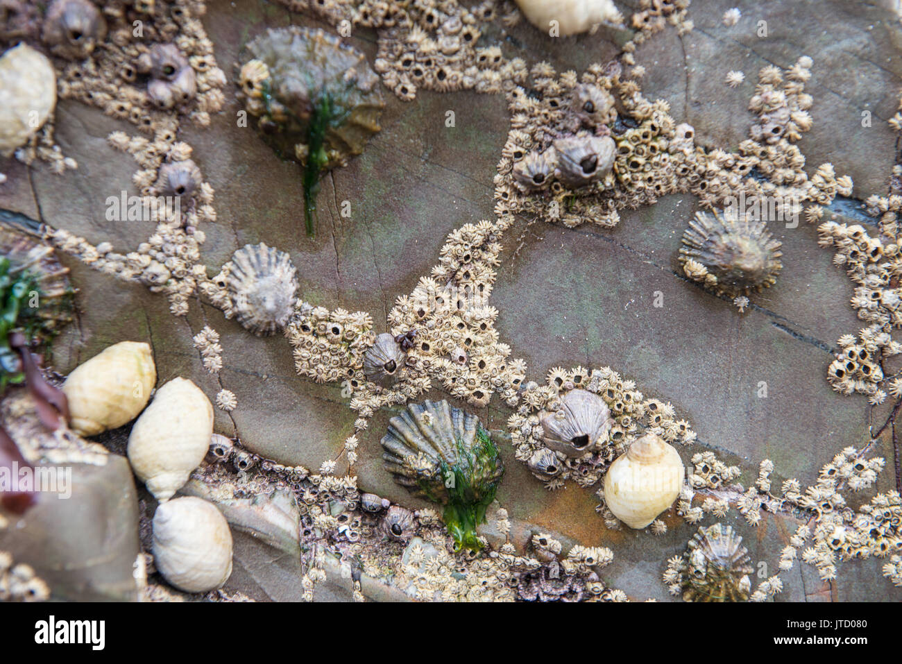 Crustaceans cling on to rocks at low tide. Wales. United Kingdom. - Stock Image