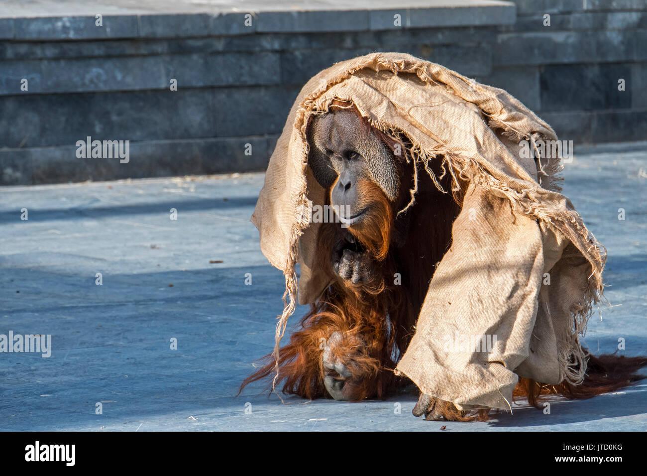 Sumatran orangutan / orang-utang (Pongo abelii) male walking around wrapped in cloth in zoo, native to Indonesian Stock Photo