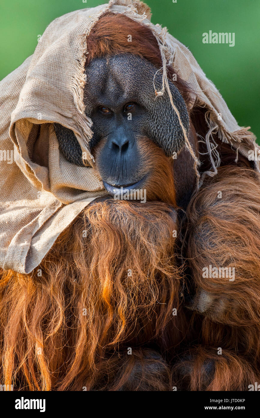 Sumatran orangutan / orang-utang (Pongo abelii) male wrapped in cloth in zoo showing large cheek flaps, native to Stock Photo