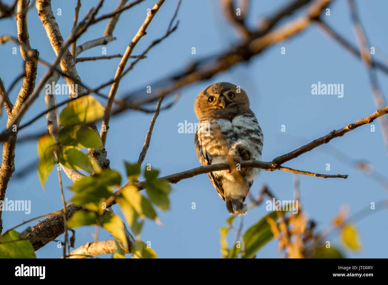 forest owlet (Athene blewitti) in Melghat Tiger Reserve - Stock Image