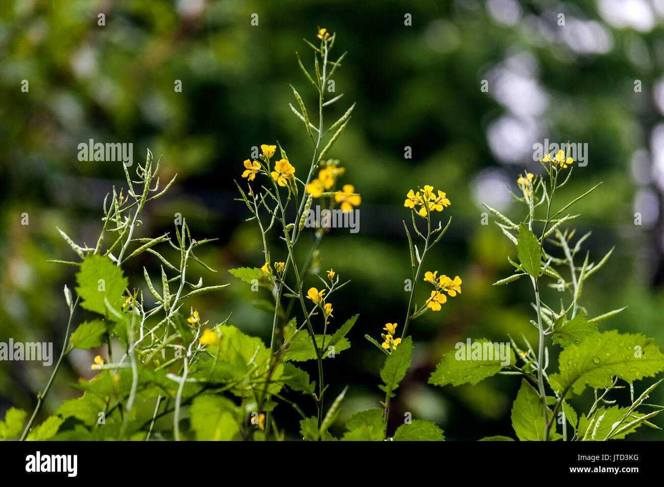 Yellow Flowers Small Mustard Green Plants Seed Pods Green Backdrop