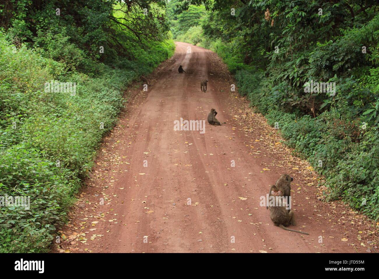 Baboons at the track to lake Manyara national Park - Stock Image