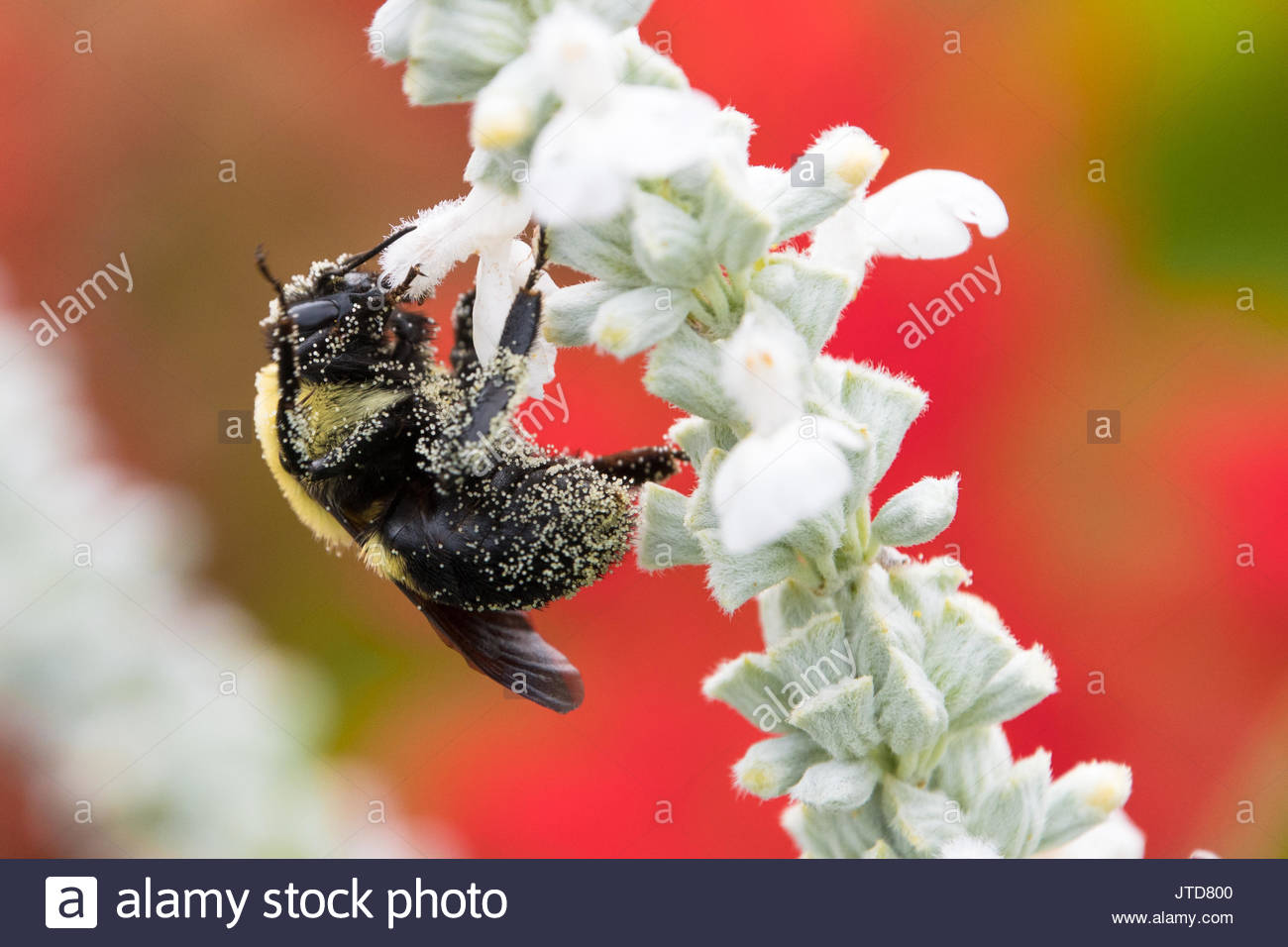 Pollinating bee insect in a white and red flowers garden in the city - Stock Image