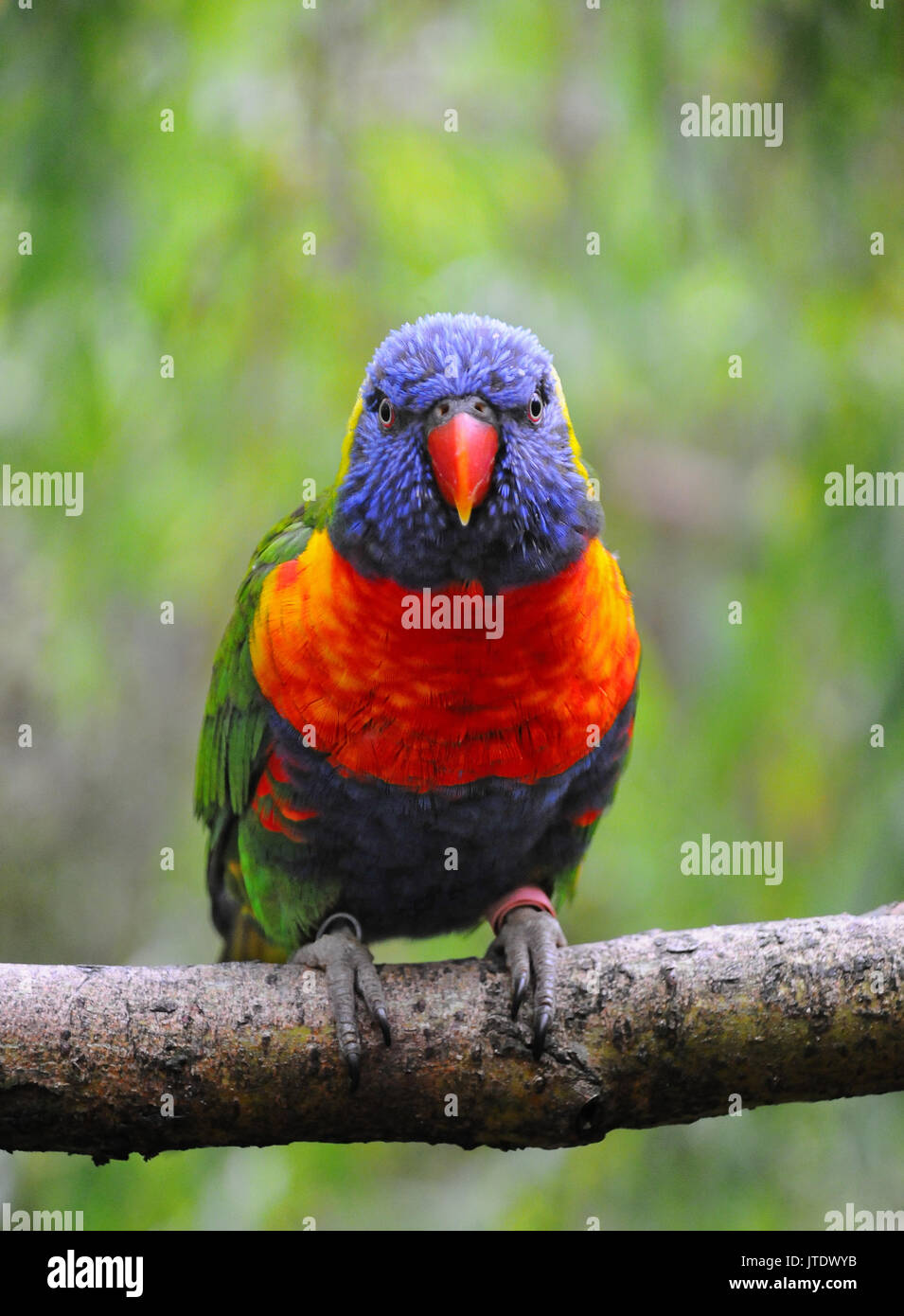 A colorful rainbow lorikeet parrot perched on a branch - Stock Image
