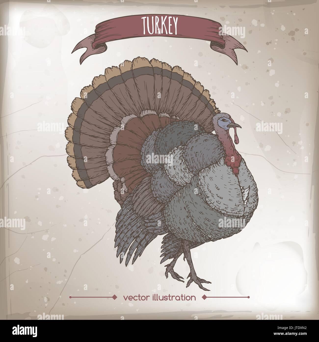 Vintage label with color live domestic turkey sketch. - Stock Vector
