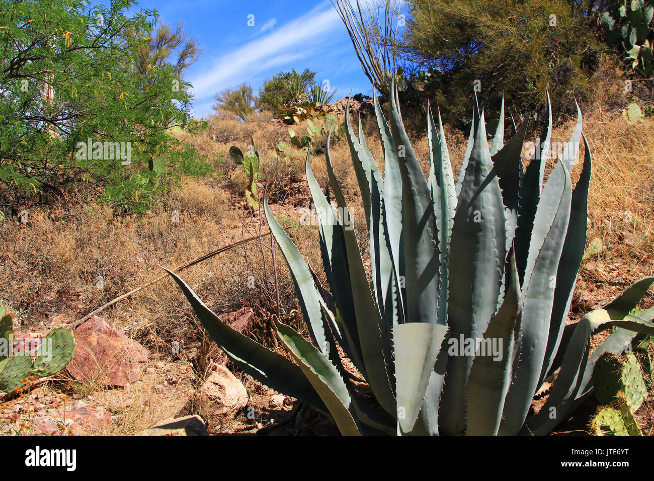 Flat leaves of a bush like agave cactus in Colossal Cave Mountain Park in Vail, Arizona, USA near Tucson. - Stock Image